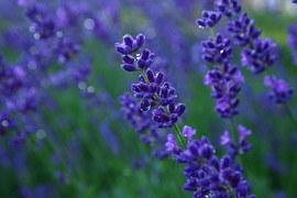 lavender-836563__180